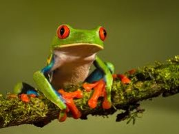 In the photo above you can see both the distinctive red eyes and orange feet of the red eyed tree frog.