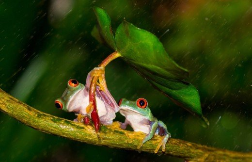 I like this photo of the two red eyed tree frogs.