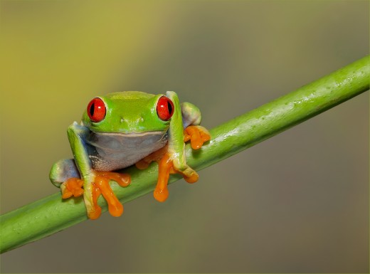 Here we have a red eyed tree frog setting on a tree branch.