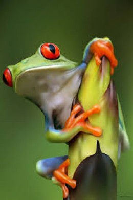 In the photo above we have a close up of a very nice specimen of red eyed tree frog.