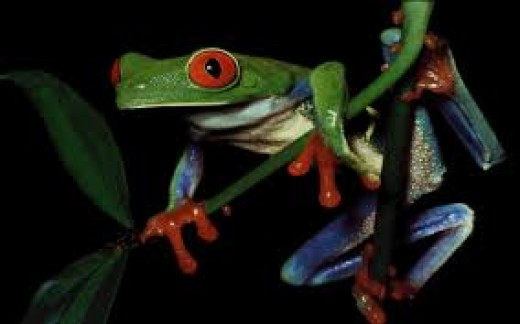 I really like this photo of a Red Eyed Tree Frog. You can see his bright red eyes and red feet in this photo. They are a very beautiful frog.