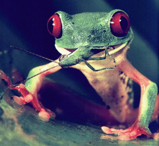 For their safety and your peace of mind feed your Red Eyed Tree Frogs only the smaller crickets. They can get in trouble with large crickets.
