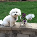 Great stuff for your Bichon Frise!
