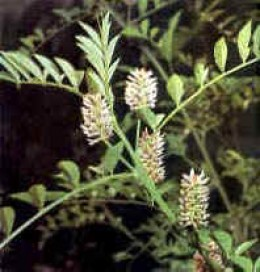 The Licorice Plant