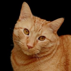 A distinguished ginger cat