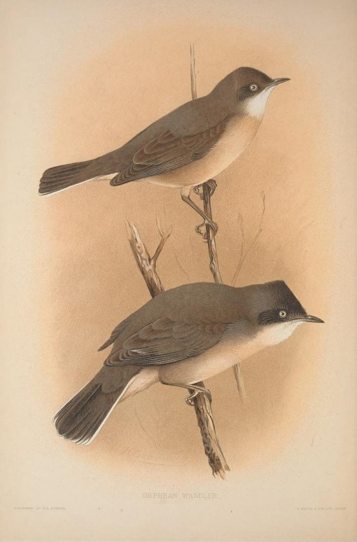From the Book British Warblers By Howard Courtesy of the BHL