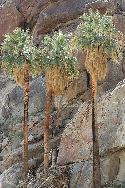 Palm Trees in the Anza-Borrego