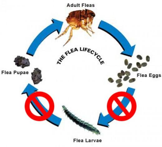 Flea cycle.