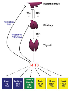 Thyroid secretion is stimulated by Thyrotropin hormone from anterior lobe of Pituitary Gland.