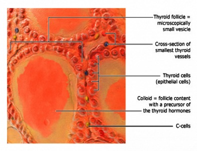 Parafollicular or C-cells are interspersed between thyroid follicles.