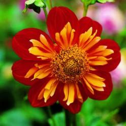 The Beautiful and Enchanting Dahlia