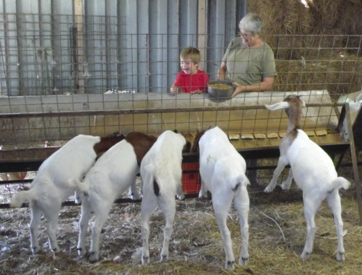 Our great grandson, Javen Johnson, loves to help Candy feed the goats.