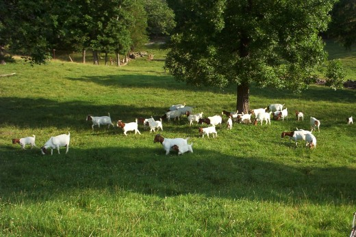 The most profitable way to raise meat goats is to provide them with good quality pasture.