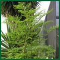 The Moringa Tree
