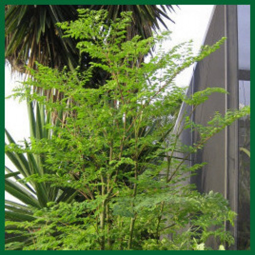 One of my young Moringa trees