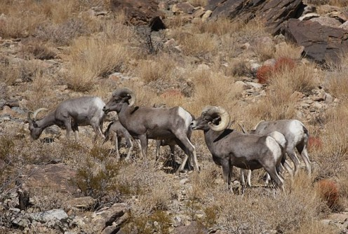 Desert bighorn in Joshua Tree National Park