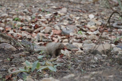 Ruddy Mongoose with Rat Snake Prey