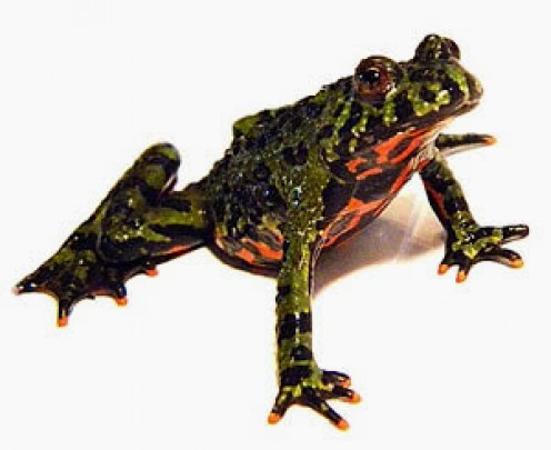 Fire Bellied Toads are native to southern and southeastern Asia. They reach about 2 inches in size and are expected to live up to 15 years. They are a very beautiful frog.