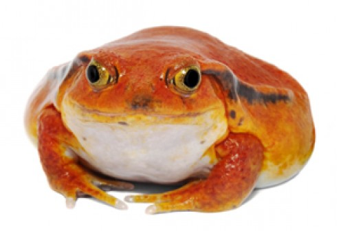 The tomato frog reaches a size of about 2 to 4 inches. Their expected Life Span is around 6-8 years, and this beautiful frog is an endangered species in the wild.