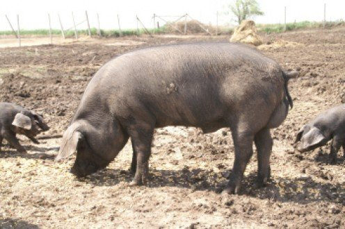 A hog, who starts out as a little piggy, is a hoofed mammal, and a domesticated swine weighing 120 pounds (54 kg) or more, raised for market. They are extremely intelligent creatures.