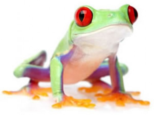 The red eyed tree frog reaches a size of about 2 to 3 inches, and it has an expected life span of 4 to 10 years. They are an amazing animal that are well known around the world for their bright eyes and exotic colors.