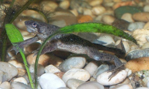 The African dwarf frog can grow to 2 1/2 inches long , and have a life expectancy of up to 5 years, but can live as long as 20 years. they live their entire lives under water, but must surface to breathe air, because they have lungs and not gills.