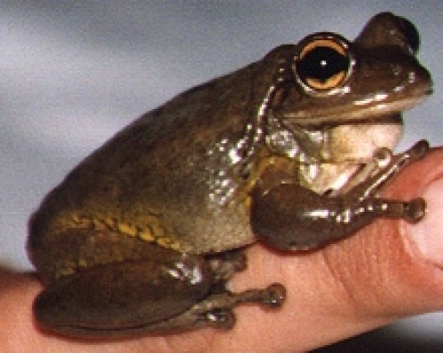 These are the largest tree frogs in North America. These frogs are notorious for cannibalism, and they been known to feast on their neighbors. They bark often at odd hours, like at 3am in the morning.