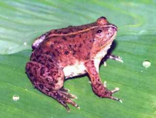 The Asian floating frog behave much as their name implies, and they spend a large amount of their time floating at the top of water. Occasionally they will hop onto land & move about as well. They're unpredictable & can croak anytime during the night