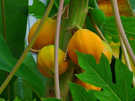 The papaya tree has more to offer than just the ripe fruit
