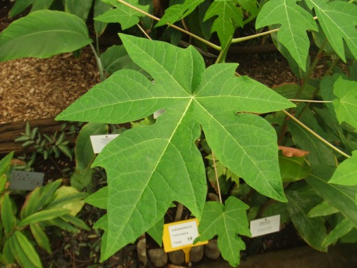 Young papaya leaves are said to have medicinal properties