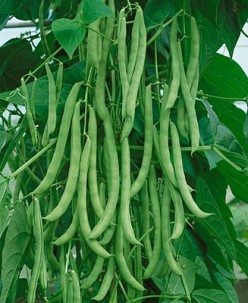 19 High Yield Heirloom Beans You Can Grow To Cut Your Grocery Bill
