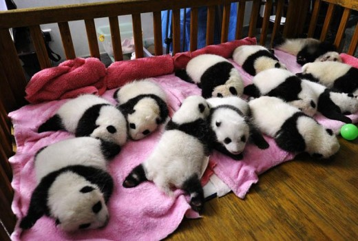 Baby Pandas at the Panda Breeding Center