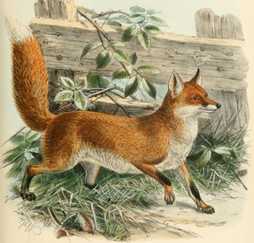 Engraving of a common red fox by J. G. Keulemans