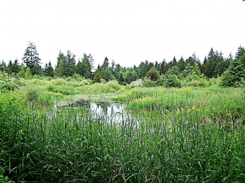 A marsh in a bird sanctuary in Comox, British Columbia