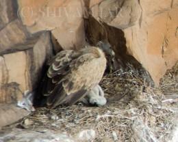 Long Billed Vulture on Nest