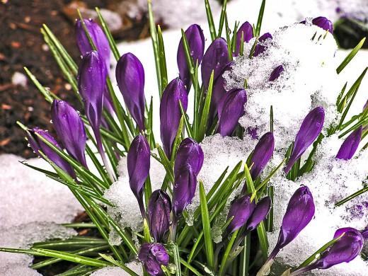 Crocus Blossoms come up through the Snow
