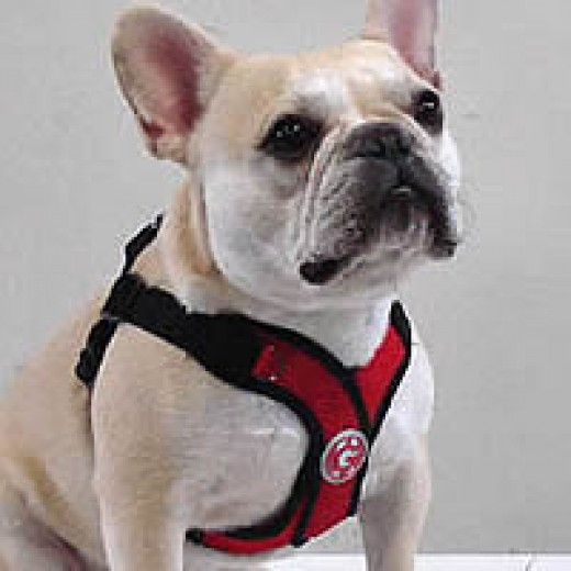 Teddy (French Bulldog) in the PerfectFit Harness