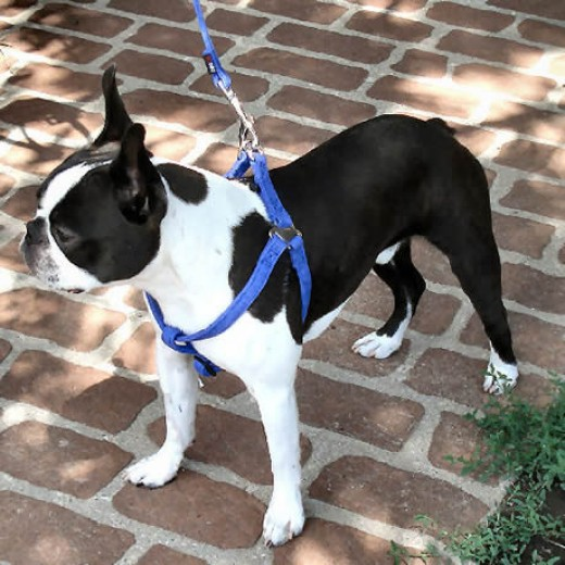 Booker (Boston Terrier) in the Microfiber Step-in Harness.