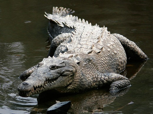 Crocodile photo taken at La Manzanilla, Jalisco, Mexico