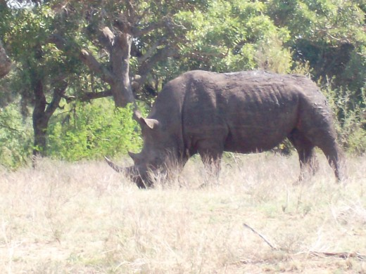 The white rhino busy grazing. The white rhino has a square lip and the leaf eating black rhino a longer lip.