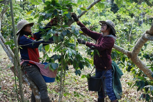 Harvesting Coffee Beans in Laos