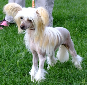 A hairless Chinese Crested striking a pose.