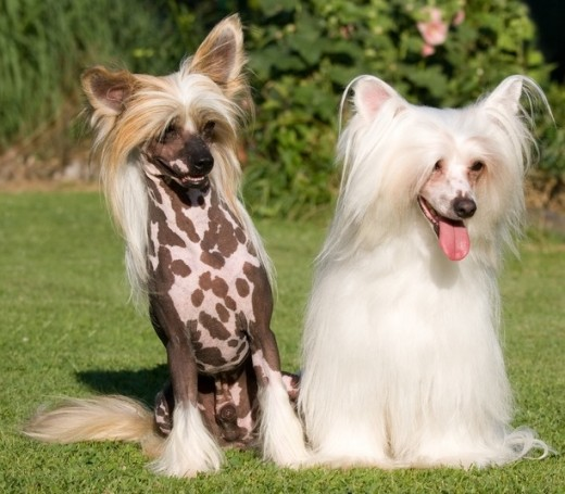 A hairless and powderpuff Chinese Crested showing why you need different grooming products.