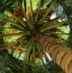 Amazing Health Benefits of Coconut