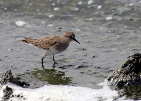 Least and western sandpipers can be seen in the thousands.