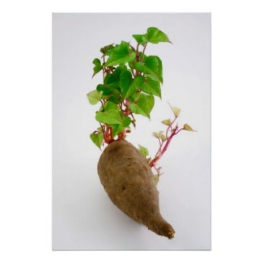 Sweet potato sprouts posters and other items available by clicking the source link.