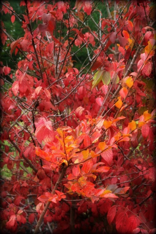 Fall foliage in the garden, a sign to start raking!