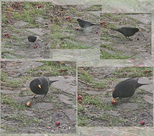 Blackbird Eating the Fruits of the Crapapple - They Drop Them from the Tree and Eat Them on the Ground