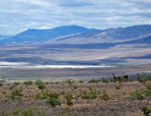 Wild asses in Panamint Valley