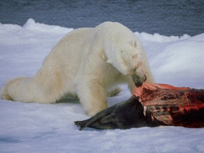Polar bear feeding on a seal